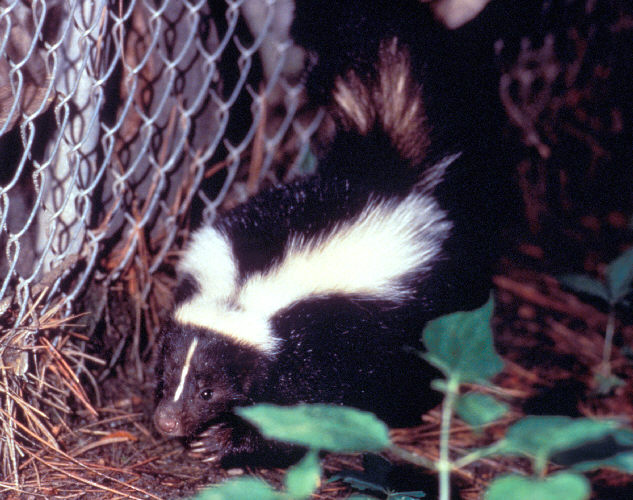 Approximately a third of reported animal rabies is attributed to the wild skunk population.