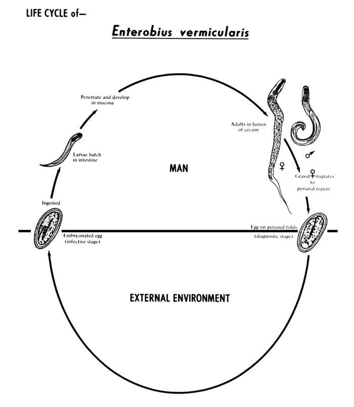 enterobius vermicularis life cycle cdc
