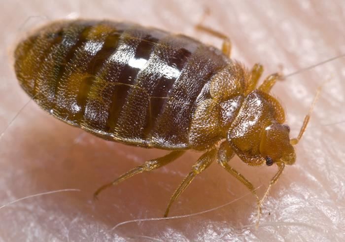 Can Dogs Get Bed Bugs Orvis News