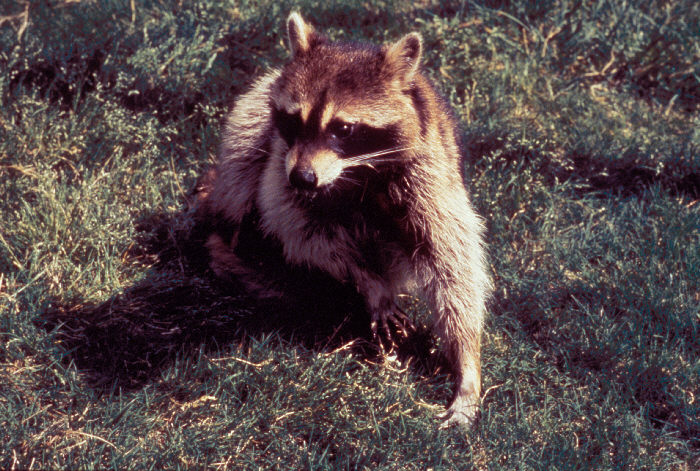 Raccoons can also be vectors of the rabies virus, transmitting the virus to humans and other animals.