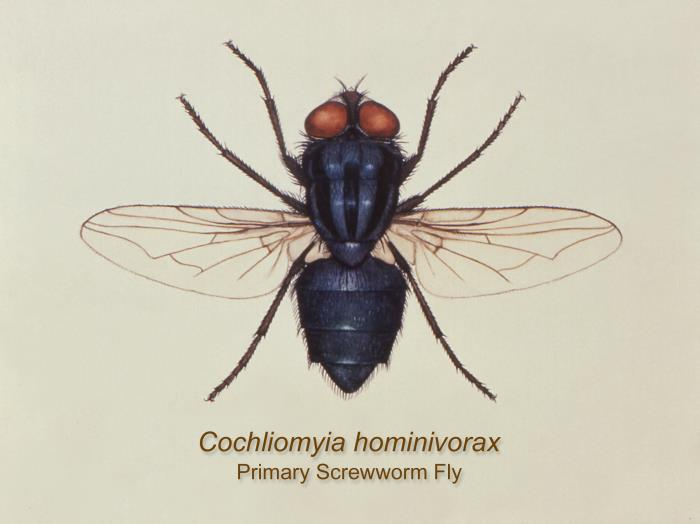 An illustration of the dorsal view of the New World screwworm fly, Cochliomyia hominivorax.