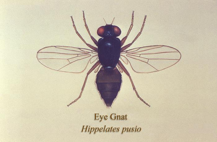 A birds-eye view of an illustration of the eye gnat Hippelates pusio