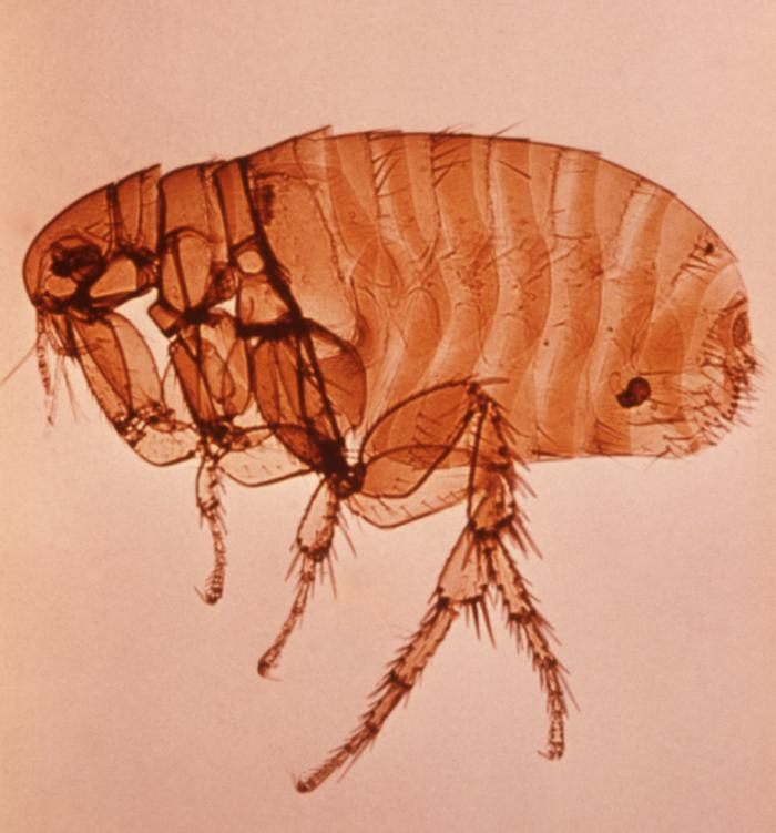 An image of a brown female Xenopsylla cheopis flea, responsible for transmission of Yersinia pestis, otherwise known as plague