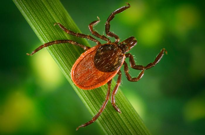 Blacklegged tick (Lyme disease)