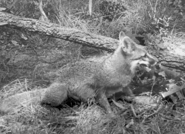 A photograph of a rabid fox sitting in a wooded area.