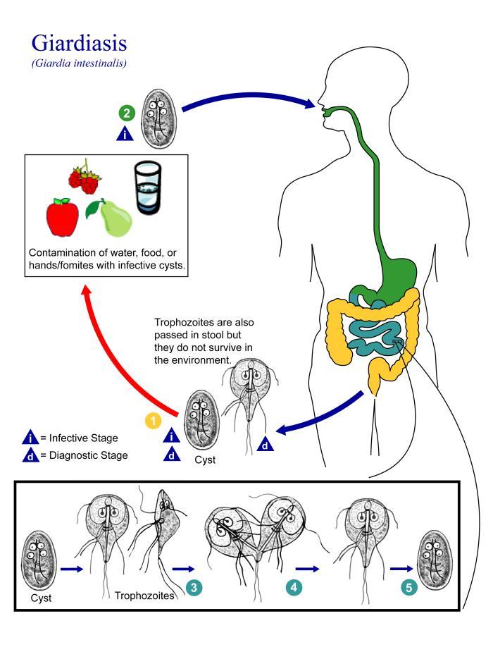 Giardia life cycle